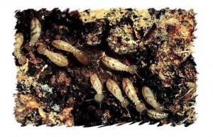 WA_Termites