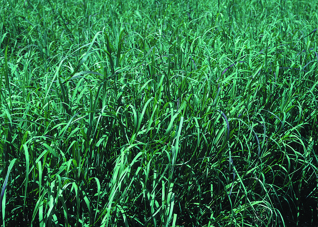 Swwtchgrass-Based Biofuels are just 5% Over Carbon-Neutral