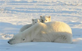 A World Wildlife Fund photograph taken along the western shore of Hudson Bay shows a female polar bear with two cubs near Churchill
