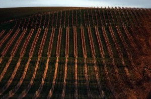 Rows of vines can be seen at sunset at Yalumba's Jansz estate in the Tamar Valley, located in the northeast of Tasmania June 4, 2014. REUTERS/David Gray